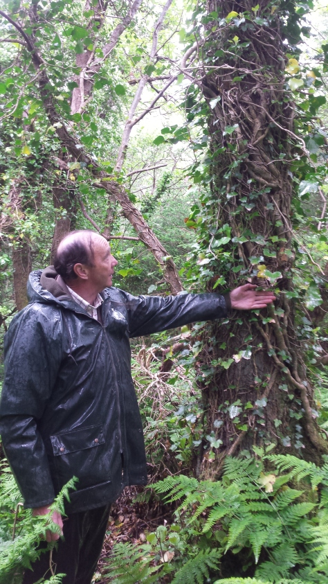 David Brabazon of Kiln Dried Hardwoods, Wicklow measuring an ivy-clad alder in County Mayo.